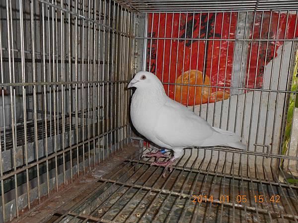 白鴿 420