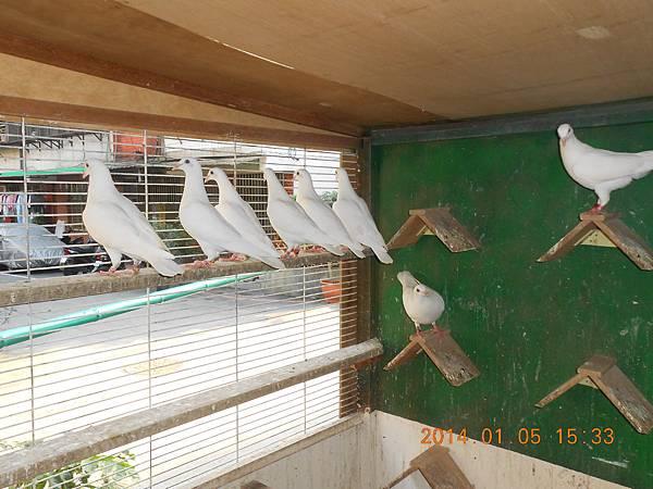 白鴿 419