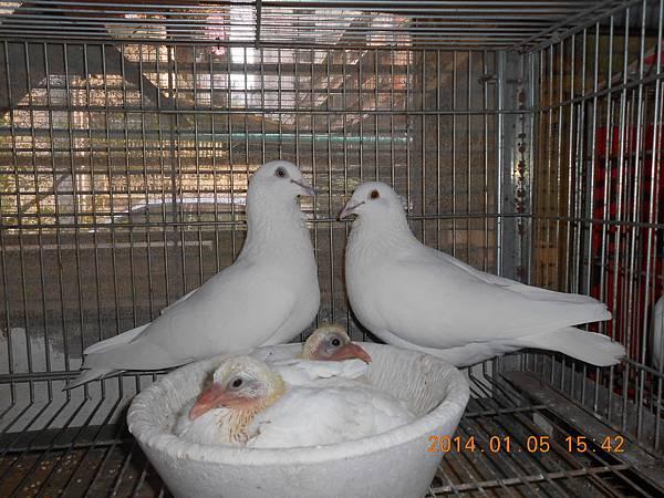 白鴿 423