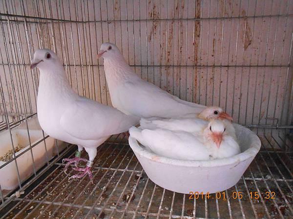 白鴿 416