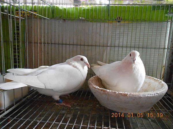 白鴿 410