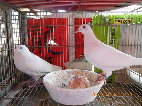 白鴿 411