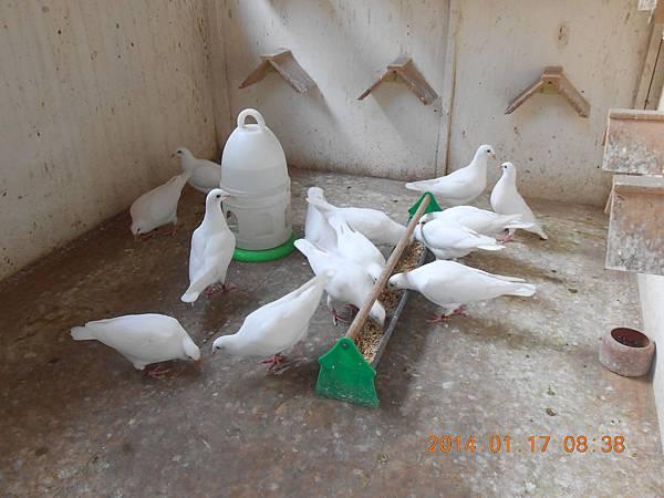 白鴿 457