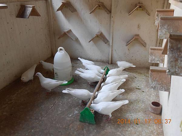 白鴿 449