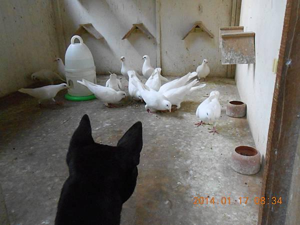 白鴿 438