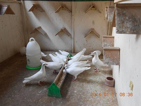 白鴿 443