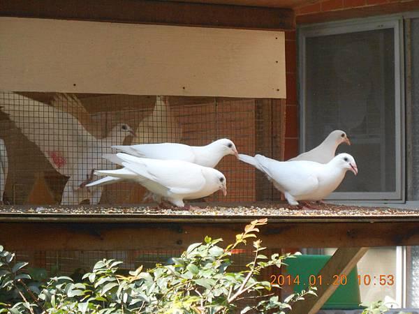 白鴿 473