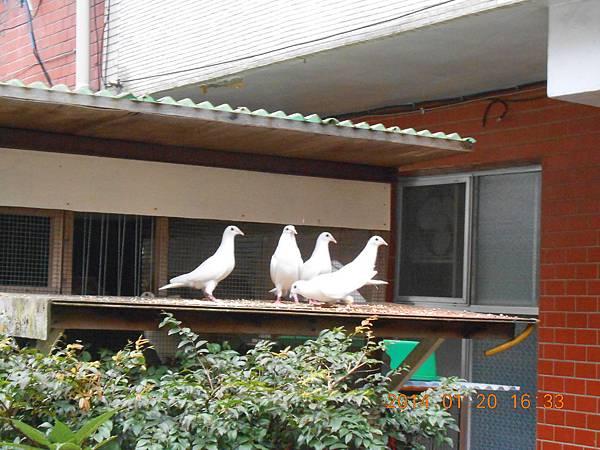 白鴿 482