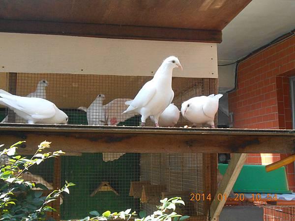 白鴿 477