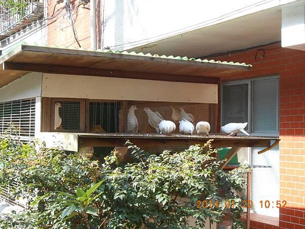 白鴿 469