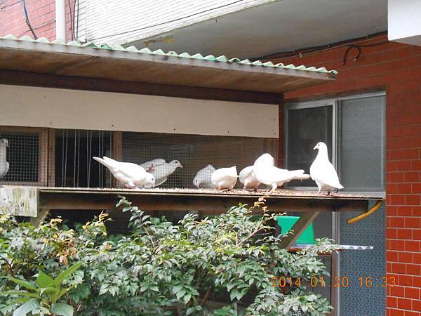 白鴿 480