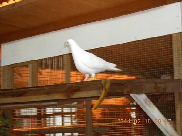 純白鴿 111