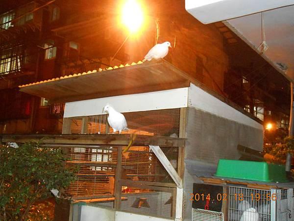 純白鴿 092