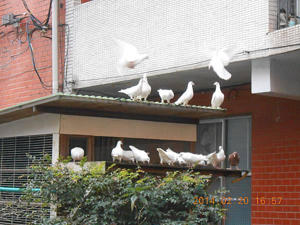純白鴿 125