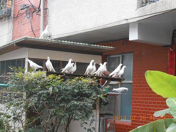純白鴿 128