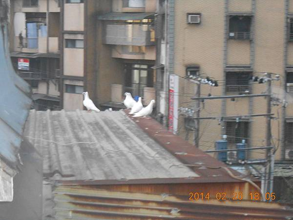 純白鴿 135