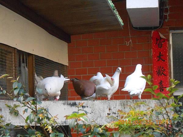 純白鴿 144