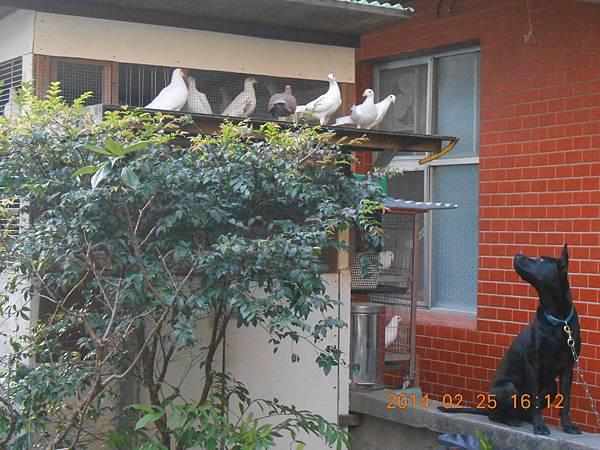 純白鴿 150
