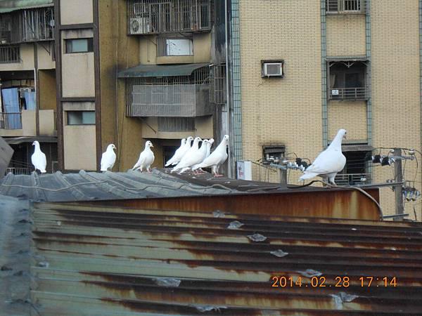 純白鴿 216