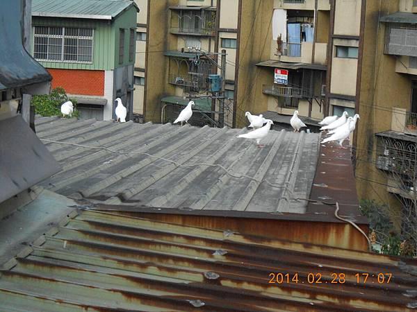 純白鴿 203