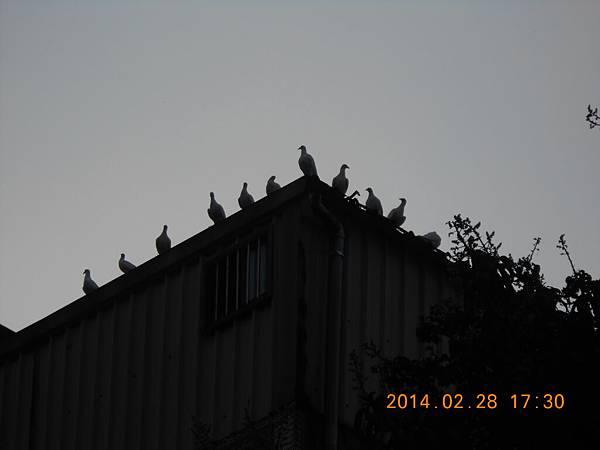 純白鴿 218