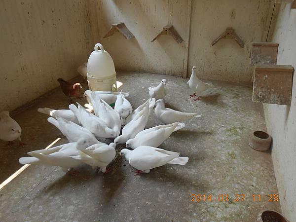 白鴿 508