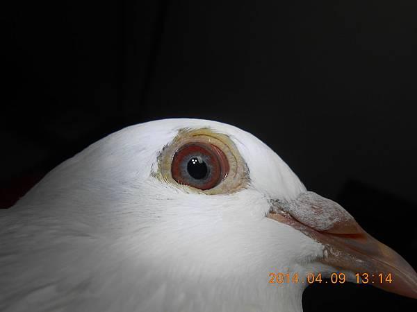 鴿眼 087