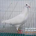 種母鴿144.PNG