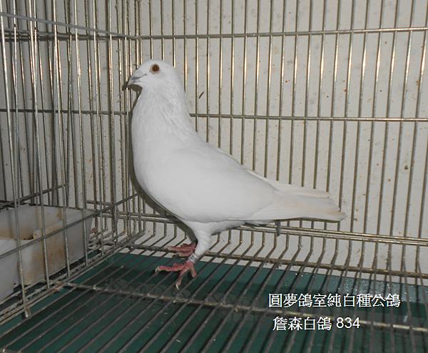 森白詹白鴿834公.PNG