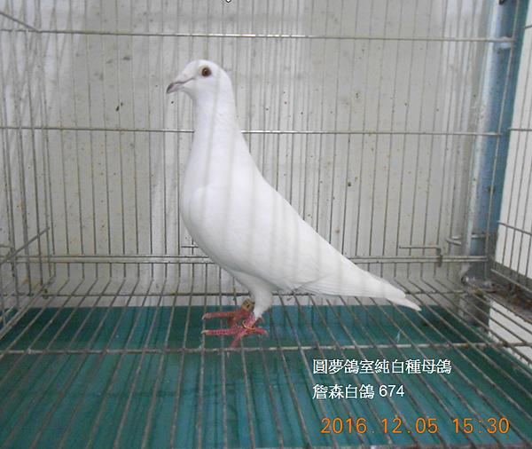 詹森白鴿674.PNG