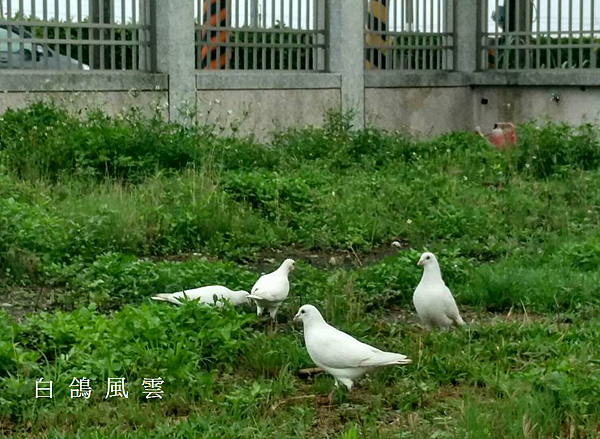 白鴿風雲.PNG