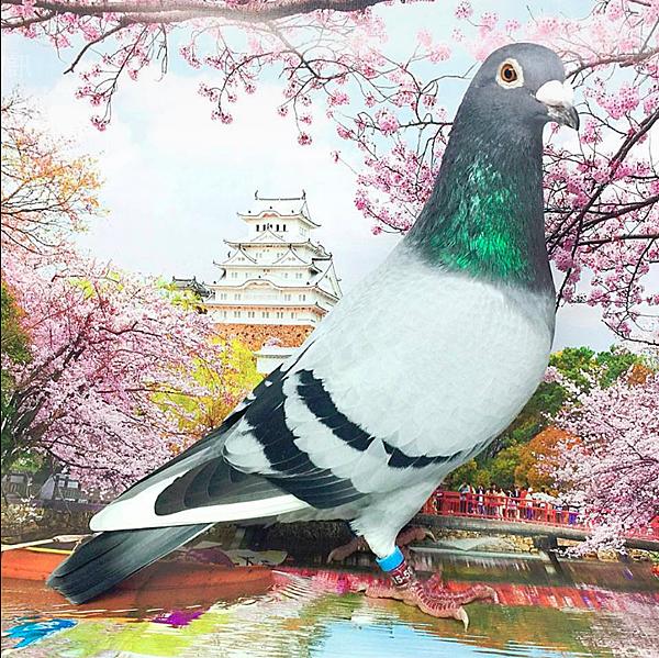 灰白羽公鴿.PNG