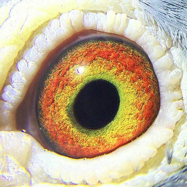 灰白羽眼睛.PNG