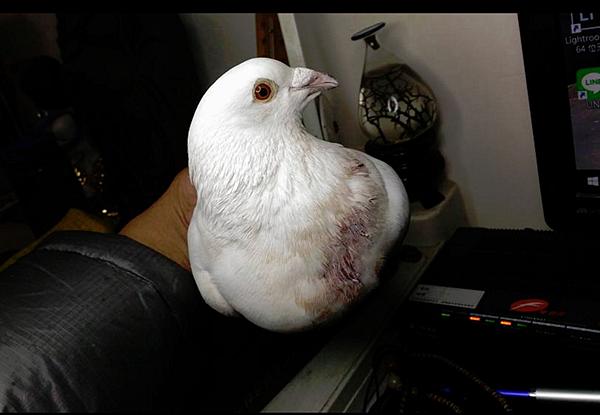 白鴿424擷取.PNG