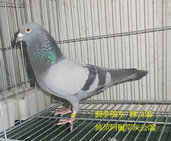 灰種公鴿.PNG