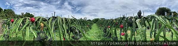 螞蟻真的會挑水果~用心火龍果種植自然農法台灣桃園火龍果有機農場