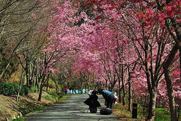 櫻花樹下 By lfat