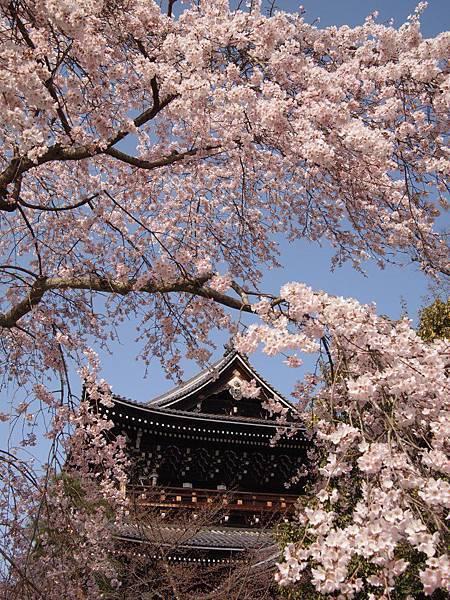 知恩院櫻花
