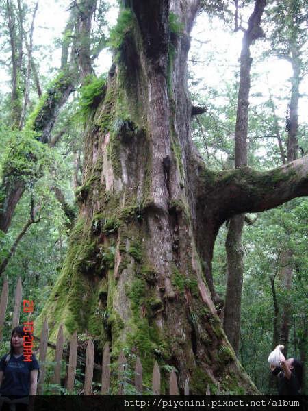 神木區--這就是叫做「大老爺」的紅檜神木..全台第二大神木喔..圍達到20.5公尺,高度約有15層樓高!據推測它應該有2,500歲了