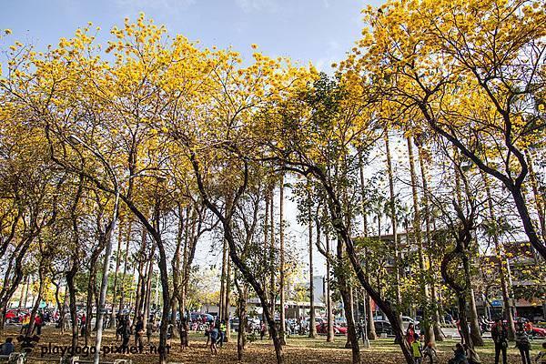 台南黃金風鈴木12