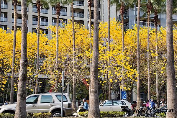台南黃金風鈴木18