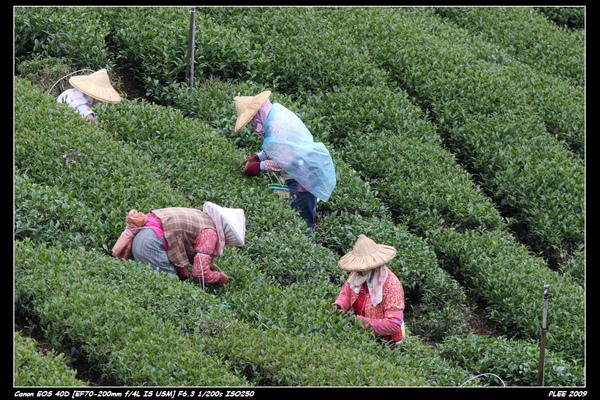 Alishan Tea Garden_01.jpg