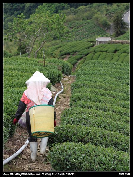 Alishan Tea Garden_02.jpg