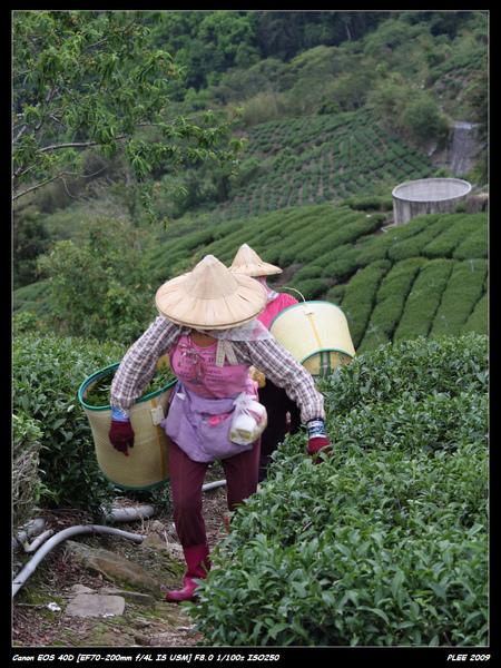 Alishan Tea Garden_04.jpg