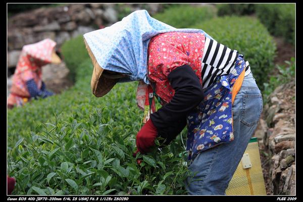 Alishan Tea Garden_07.jpg