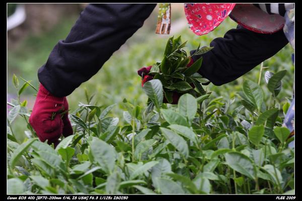 Alishan Tea Garden_08.jpg