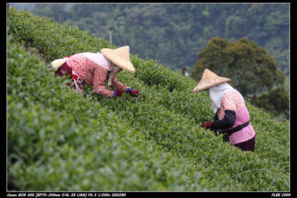 Alishan Tea Garden_10.jpg