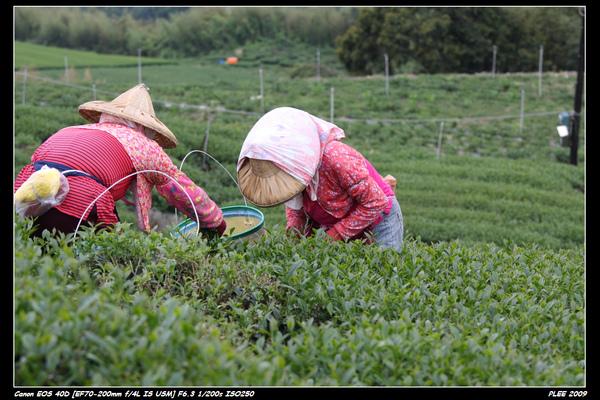 Alishan Tea Garden_12.jpg