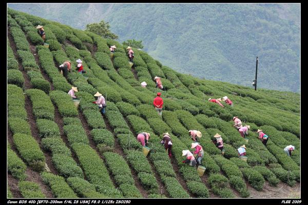 Alishan Tea Garden_14.jpg
