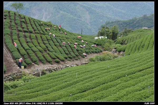 Alishan Tea Garden_15.jpg